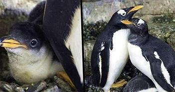 Hạnh phúc vỡ òa với cặp đôi chim cánh cụt đồng tính lần đầu được làm cha mẹ