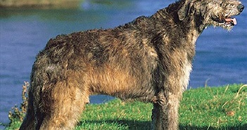 Khám phá thú vị 3 giống chó cao nhất thế giới