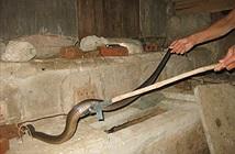 Muốn rắn không bò vào nhà hãy thử những cách đuổi rắn này