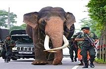 Choáng đội quân vũ trang khủng bảo vệ voi cao nhất Sri Lanka
