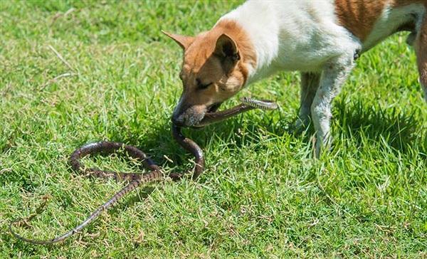 Kinh hãi chó trung thành bị rắn độc cắn chết vì cứu chủ
