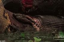 Trăn Anaconda đoạt mạng sát thủ đầm lầy trong tích tắc