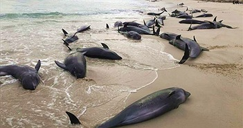 Vì sao 130 con cá heo chết dạt la liệt vào bờ biển?