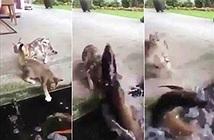 Xem cá dưới ao đớp mèo định ăn thịt