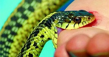 Nọc độc loài rắn phổ biến ở Việt Nam gây chết người nhanh ra sao?