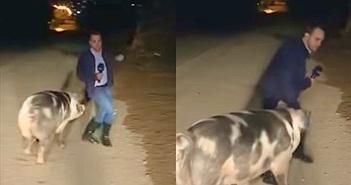 Hy hữu phóng viên tác nghiệp, bị lợn nái truy kích đến khiếp đảm