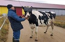 Thú vị chăn nuôi bò sử dụng công nghệ thực tế ảo