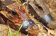 Phát hiện cá sấu màu cam sống trong hang động