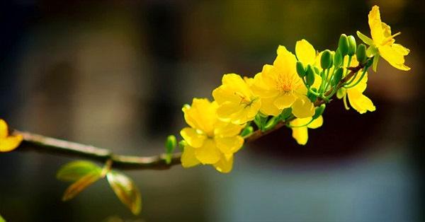 Kỹ thuật trồng và chăm sóc hoa mai cho ngày tết