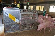 Khi nhà nông Việt gắn chíp cho... lợn