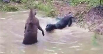Clip: Chó săn suýt chết đuối vì bị kangaroo dìm xuống nước