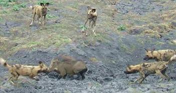 """Video: """"Thập diện mai phục"""", bầy chó hoang khiến lợn rừng hết lối thoát"""