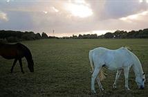 Hàng loạt con ngựa bị cắt tai bí ẩn ở Pháp
