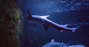Cá mập sinh con dù 10 năm không gặp con đực