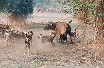 Đàn chó hoang đột kích bầy trâu rừng châu Phi và cái kết