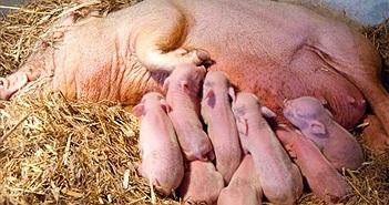 Đi kiểm tra chuồng lợn, chàng trai rùng mình khi thấy cảnh tượng trước mắt