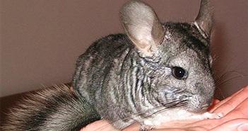 Thấy con vật béo múp, bà mẹ tưởng chuột để rồi giật mình