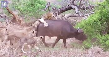 7 sư tử đu bám, cắn xé... trâu rừng khủng khiếp