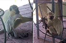 Nhói lòng khỉ mẹ ôm xác con chết khô suốt 10 ngày chăm bẵm
