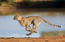 Báo đốm Cheetah có nguy cơ tuyệt chủng