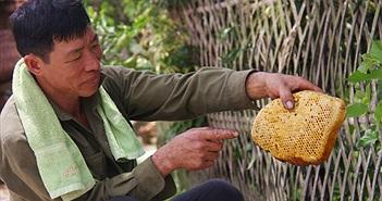Ly kỳ chuyện săn mật của loài ong hung dữ ở Tây Yên Tử