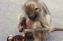 Thấy xác con bị xe tông, khỉ mẹ làm hành động đau xé lòng